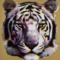AID04-Tiger-Gold-Thumbnail