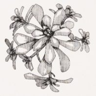 PHL09-Phil-Mcneill-Aeonium-Spathulatum-Thumbnail